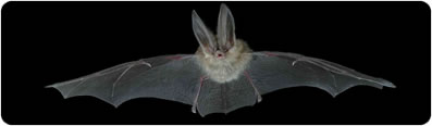 Townsend big-eared bat: Bruce Taubert