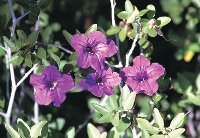 Ruellia (californica, R. peninsularis)