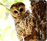 Mexican Spotted Owl (M. Bayless)
