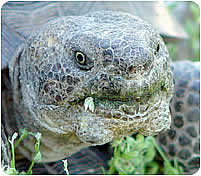 Desert tortoise with swollen glands