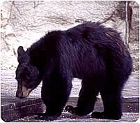 Black Bear on a deck